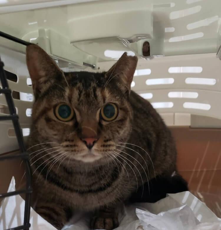 【保護猫】ちび推定2歳♀キジサビ