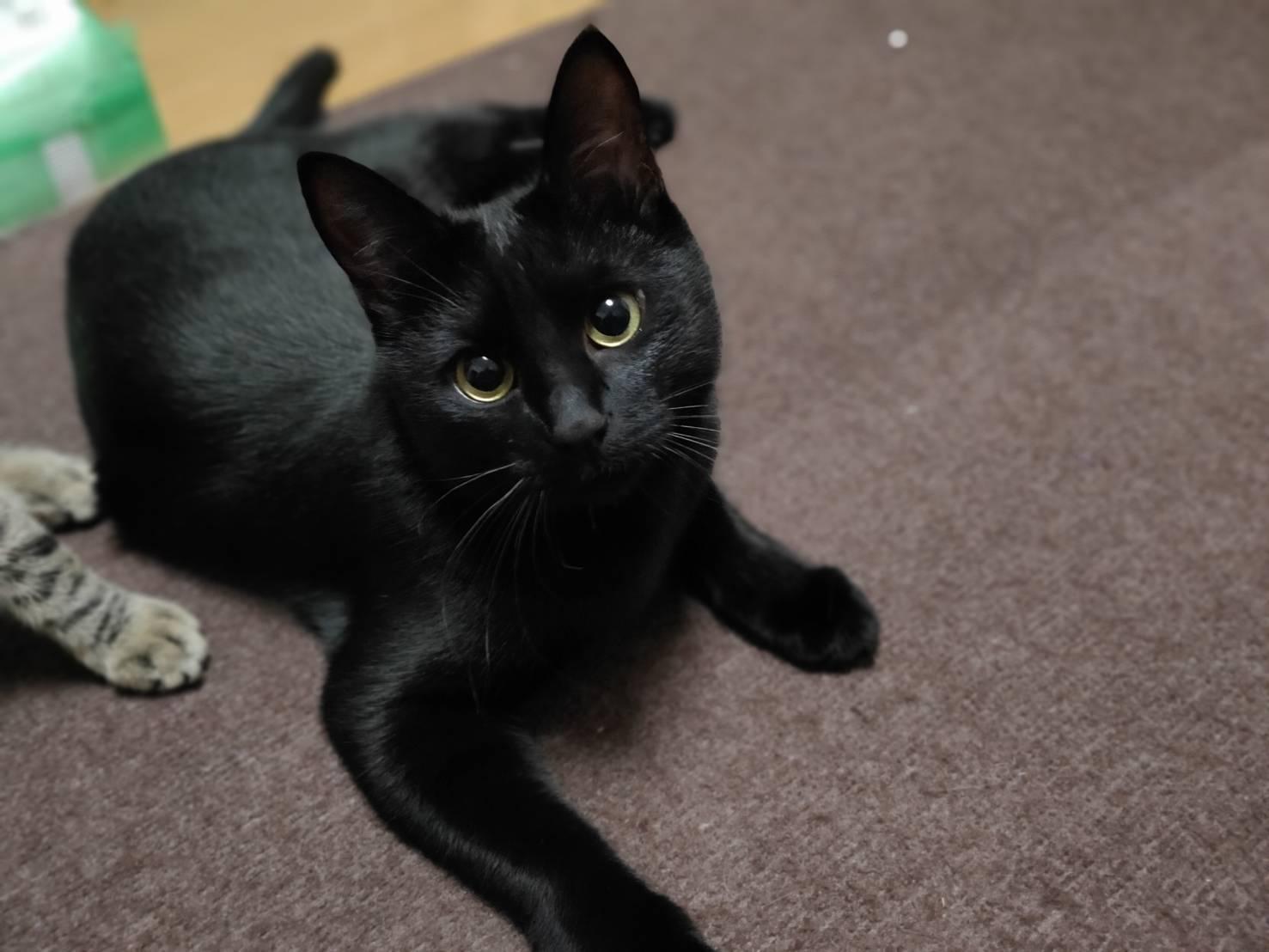 ベルベットのようなツヤツヤ毛並み 黒猫のチョビちゃん