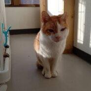 【保護猫】ふうた推定5歳♂茶白
