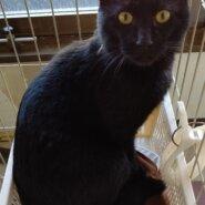 【保護猫】くろすけ推定2~3歳♂黒猫
