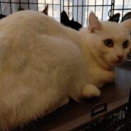 【保護猫】ぽてと推定3歳♂白猫