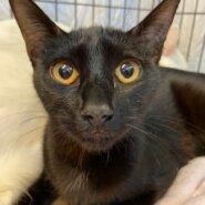 【保護猫】あずき推定6ヶ月♀黒猫