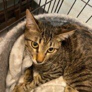 【保護猫】こむぎ推定8ヶ月♂キジトラ