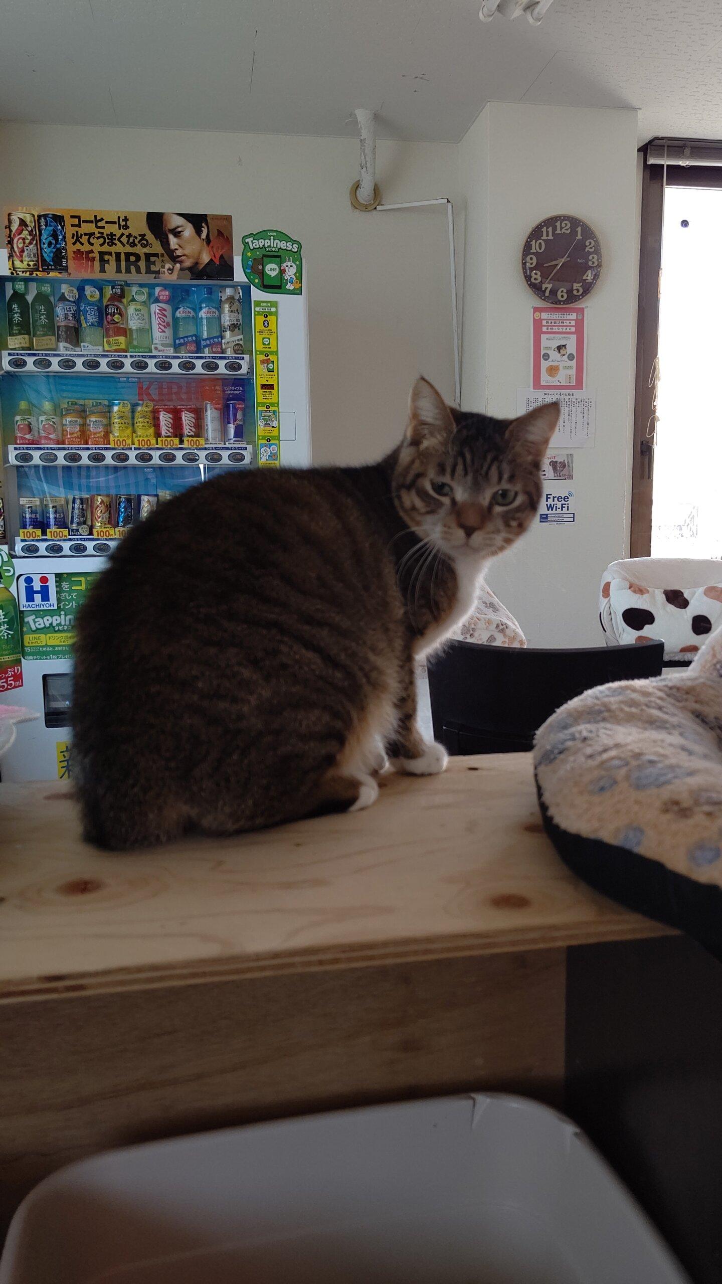 【保護猫】つむぎ推定1歳♂キジ白