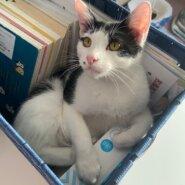 【保護猫】ここ推定11ヶ月♂ハチワレ