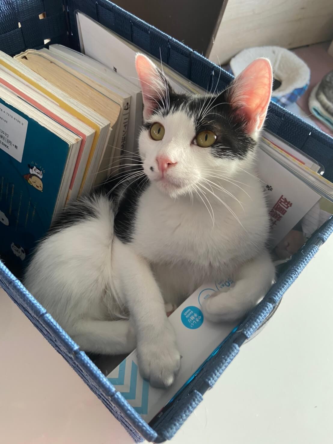 【保護猫】ここ推定1歳♂ハチワレ