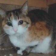 【保護猫】三毛ばあ推定10歳♀三毛