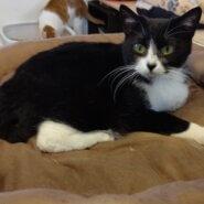 【保護猫】メープル推定1歳♀ハチワレ