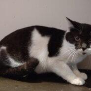 【保護猫】ちか推定6ヶ月♀黒白
