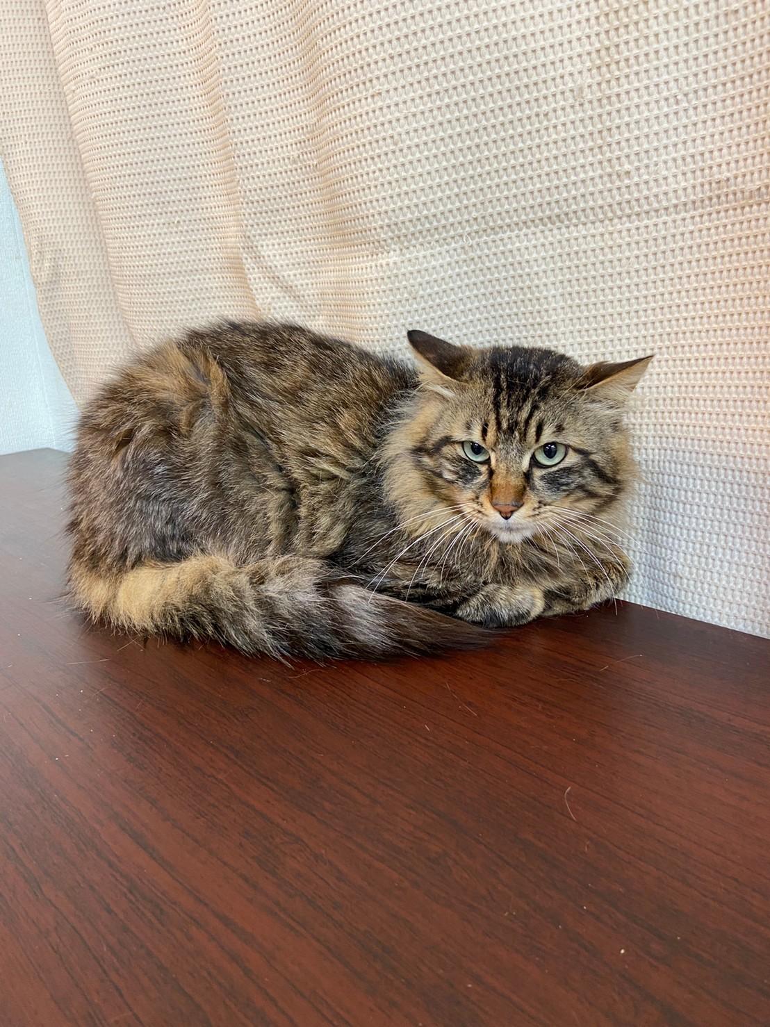 【保護猫】ミミ推定3歳♂キジ長毛