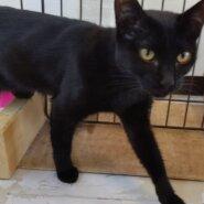 【保護猫】いちご推定8ヶ月♀黒猫