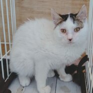 【保護猫】弥生推定6ヶ月♀キジシロ