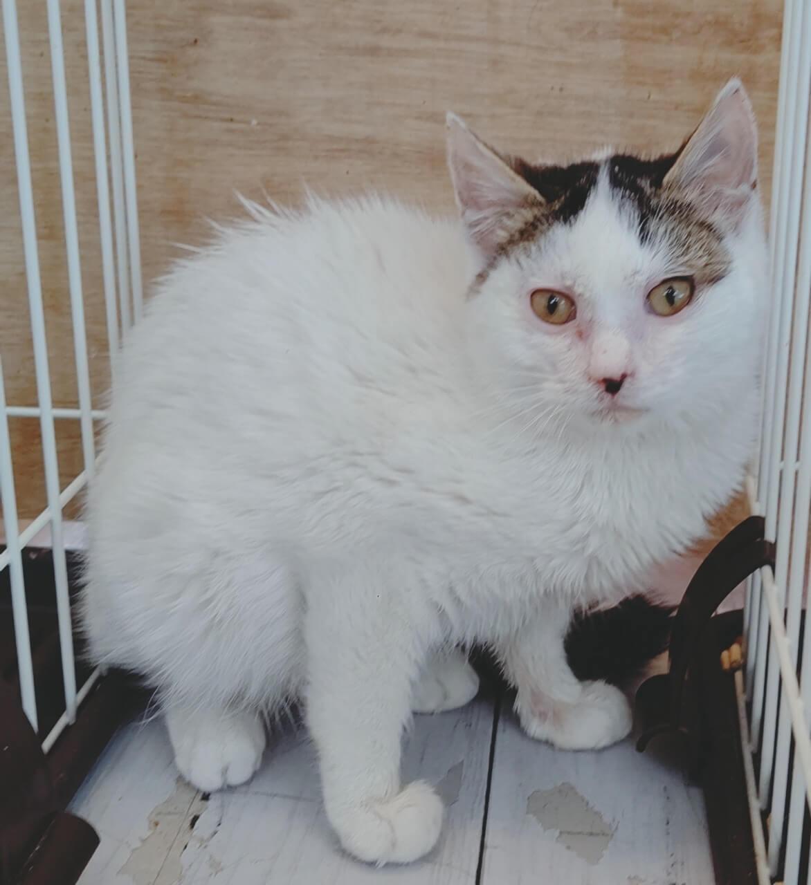 【保護猫】弥生推定9ヶ月♀キジシロ
