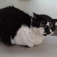 【保護猫】コアラ推定3~4歳♂ハチワレ