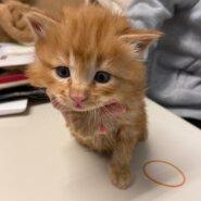【保護猫】ゴロ推定2ヶ月♂長毛茶トラ