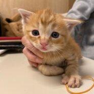 【保護猫】ドン推定2ヶ月♂茶トラ