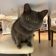 【保護猫】ロビン推定1歳♀グレー