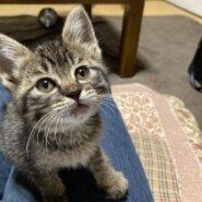 生後6-8週子猫(女の子)