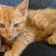 【保護猫】ポート推定3ヶ月♂茶トラ