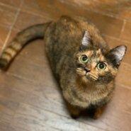 可愛い保護猫「いぶき」