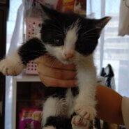 【保護猫】けい推定3ヶ月♂ハチワレ