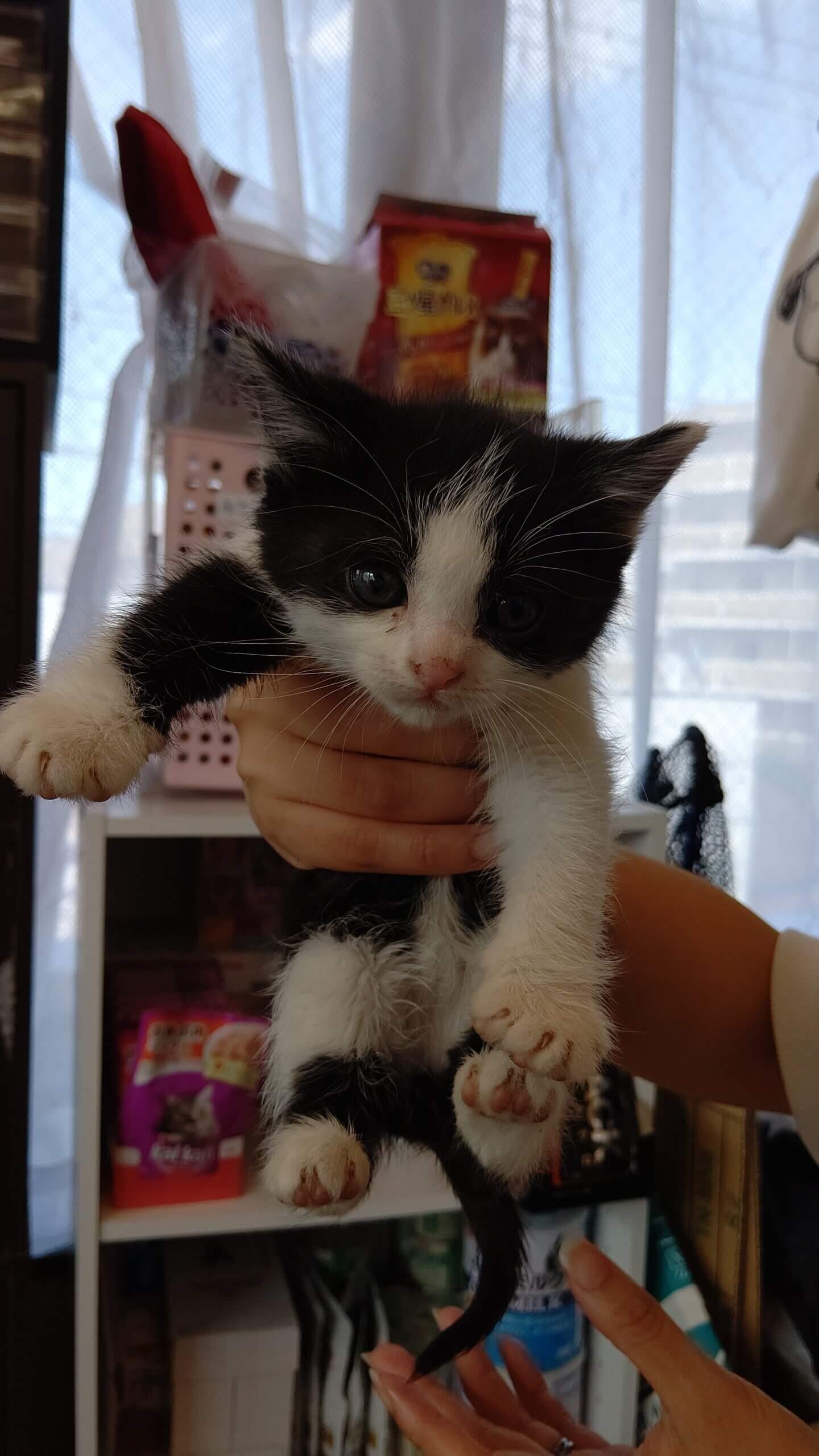 【保護猫】けい推定4ヶ月♂ハチワレ