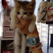 【保護猫】らら推定3ヶ月♀キジ白