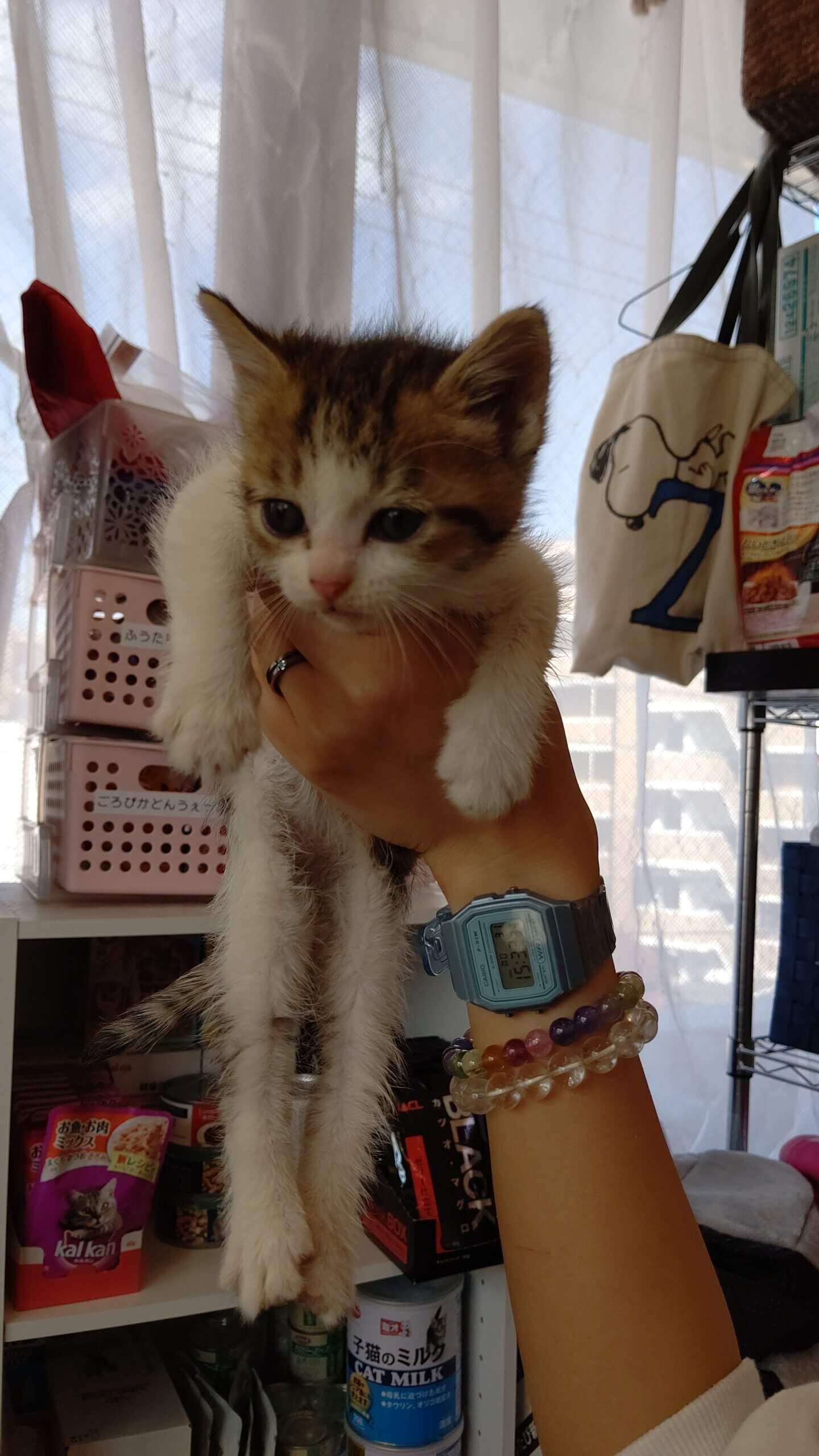 【保護猫】らら推定2ヶ月♀キジ白