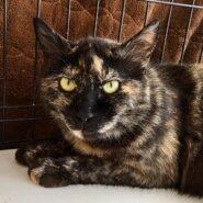 【保護猫】マリア推定1~2歳♀サビ