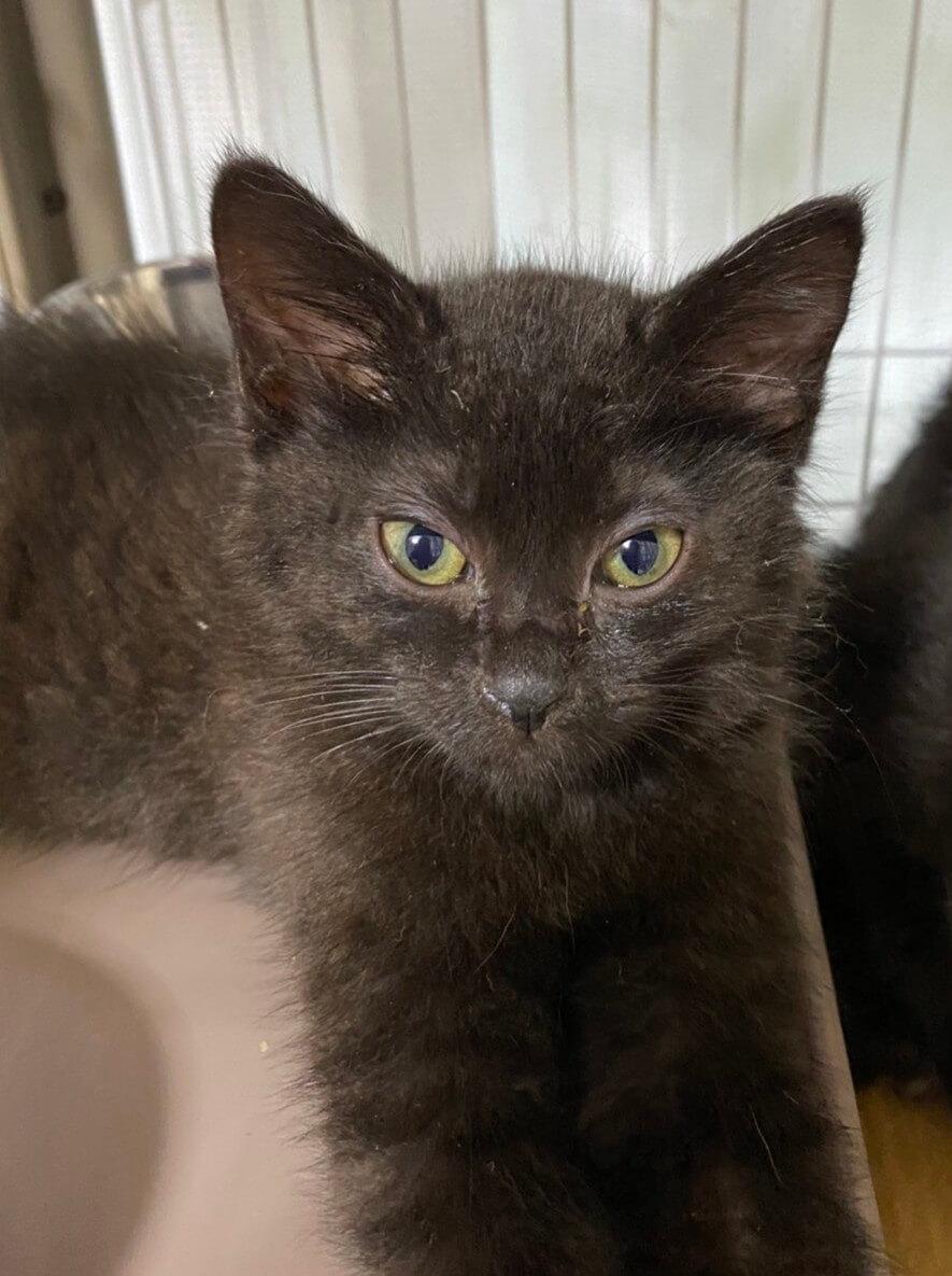 【保護猫】とん推定3ヶ月♂黒猫