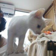 純白な子猫王子