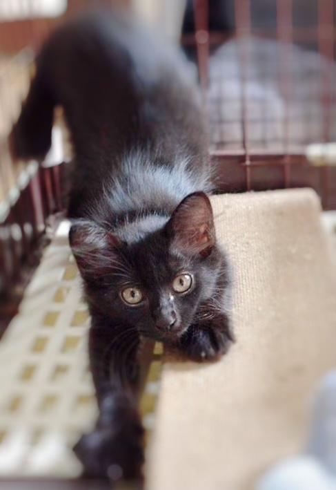 可愛い黒仔猫(7/23.24.25面会可能)