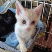 【保護猫】プリン推定2ヶ月♂茶白