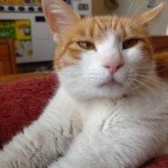【保護猫】ちこ推定1歳♀茶白