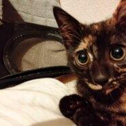 生後約2ヶ月、東淀川区からの募集のサビ猫です