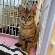 【保護猫】ちゃー推定10ヶ月♀キジトラ