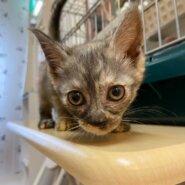 【保護猫】シナモン推定4ヶ月♀グレーサビ