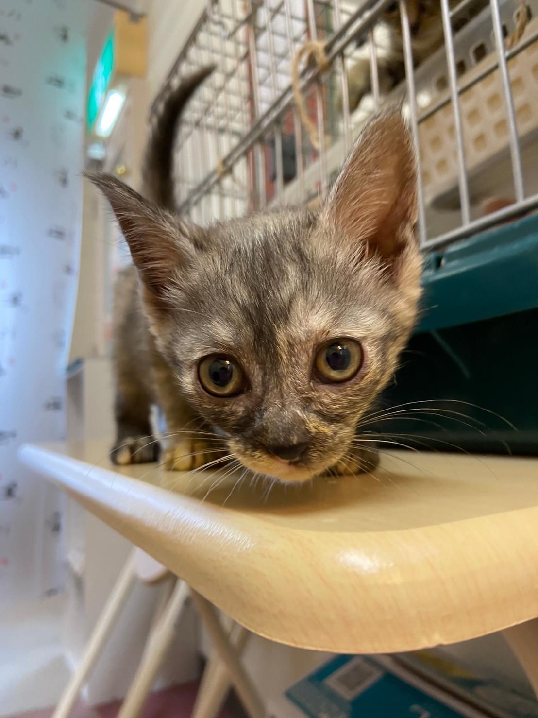 【保護猫】シナモン推定2ヶ月♀グレーサビ