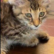 【保護猫】ゆう推定3ヶ月♂キジトラ