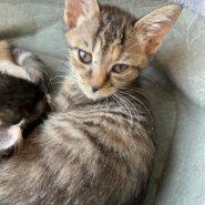 【保護猫】マロン推定4ヶ月♀キジトラ