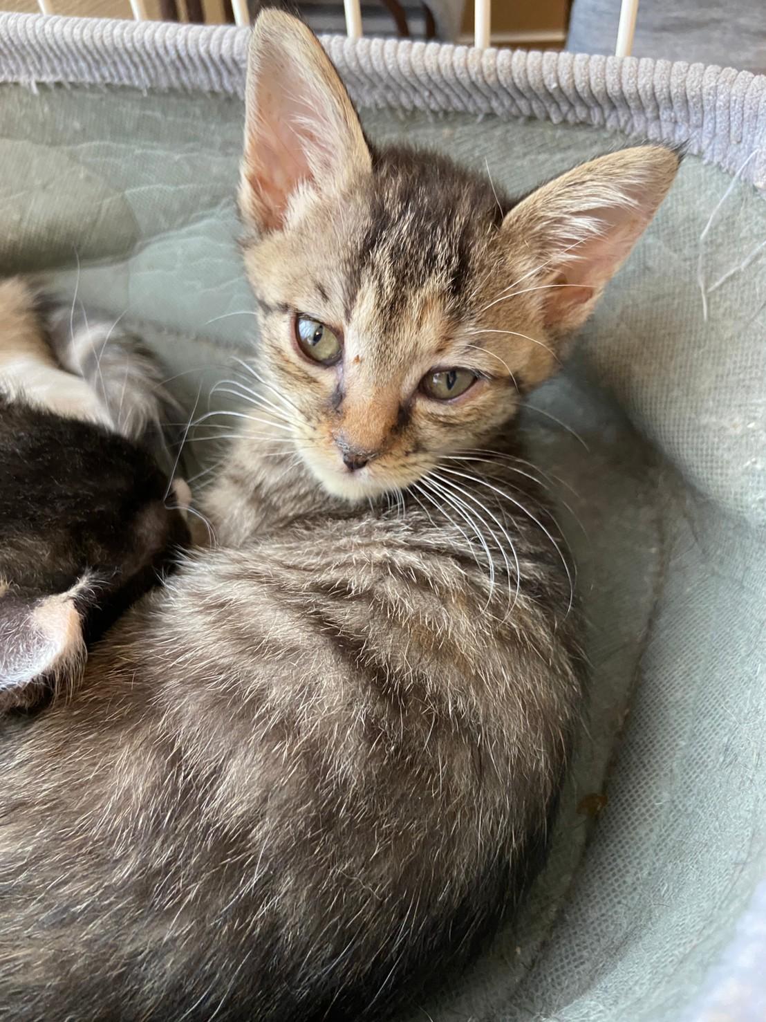 【保護猫】マロン推定2ヶ月♀キジトラ