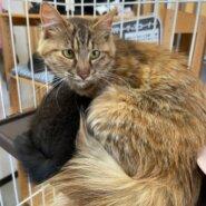 【保護猫】みるきー推定8ヶ月♀キジ長毛