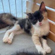 【保護猫】とと推定4ヶ月♀三毛