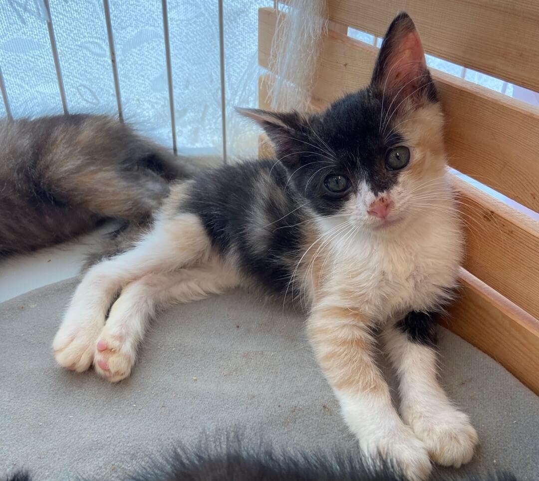 【保護猫】とと推定5ヶ月♀三毛