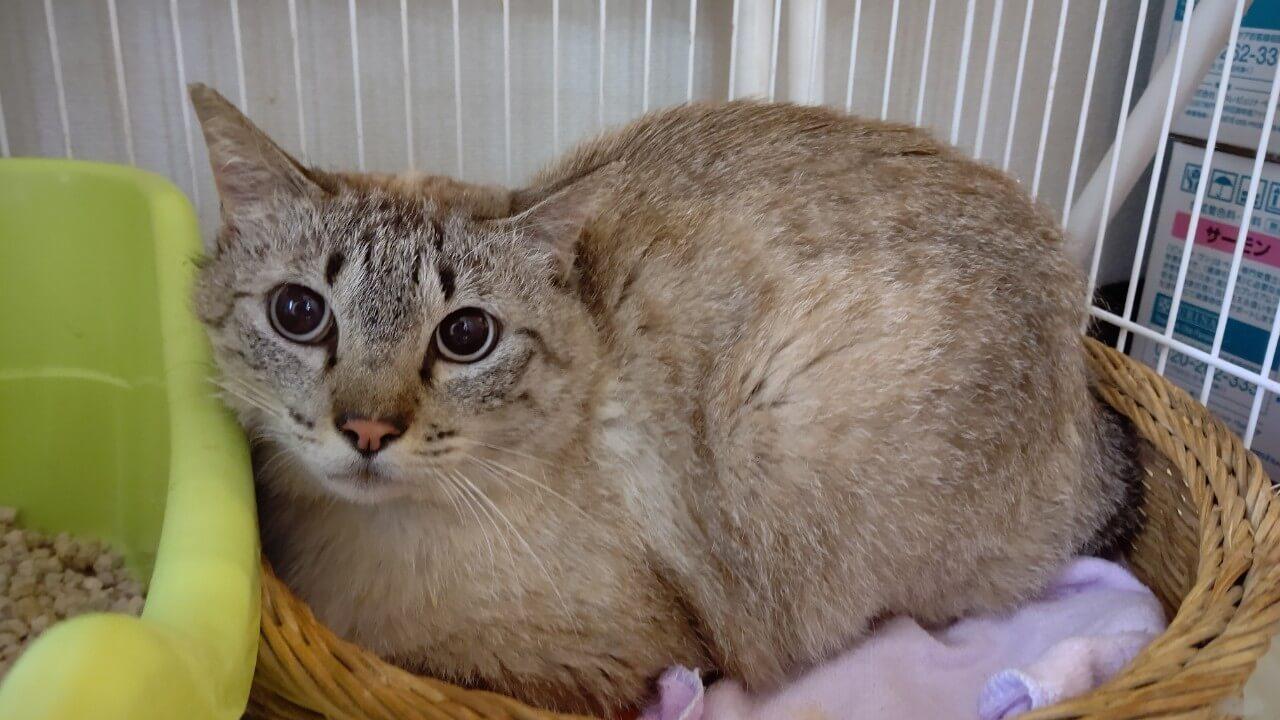 【保護猫】ドラミ推定5歳♀キジ