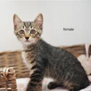 「一時保留中です。」 仔猫の女の子。***山に捨てられてた猫一家保護しました。