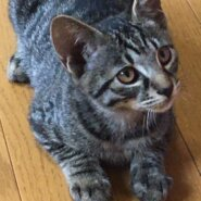 生後約3ヶ月の子猫(男の子)