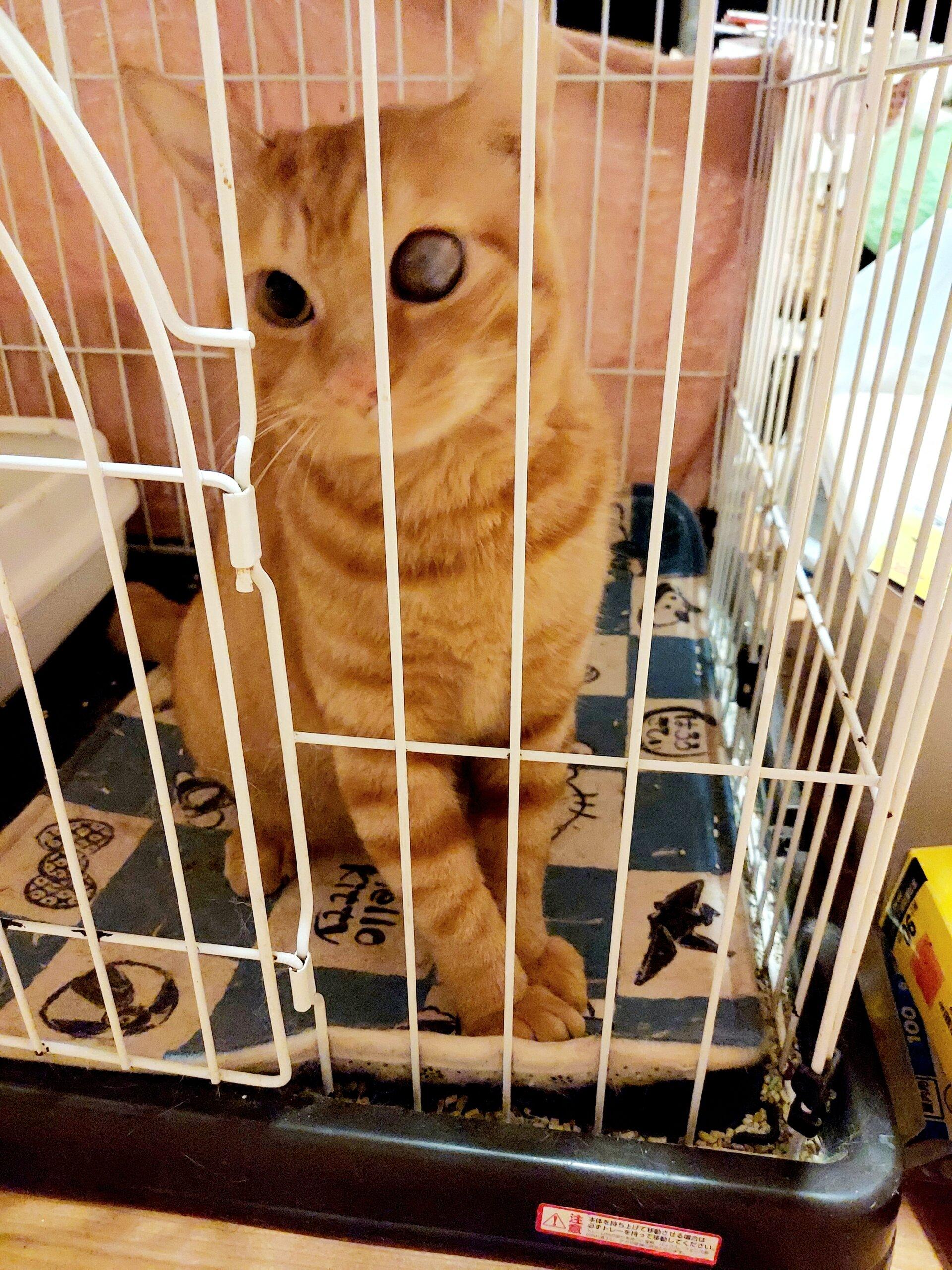茶トラの男の子、成猫です。