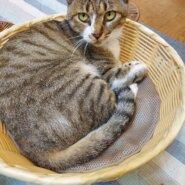 キジシロの成猫です。女の子です。耳カットしています。