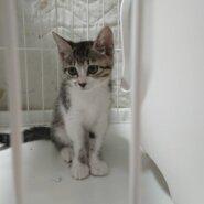 生後2.5ヶ月前後のキジ白子猫(女の子)